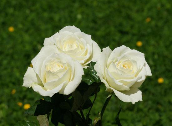 Kết quả hình ảnh cho hoa hồng trắng