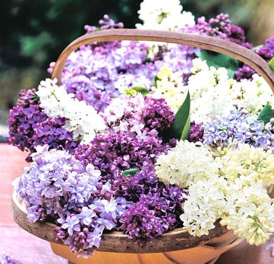 Hoa tử đinh hương tượng trưng cho những cảm xúc đầu tiên