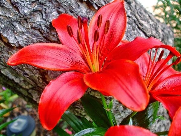 Kết quả hình ảnh cho Hoa lily