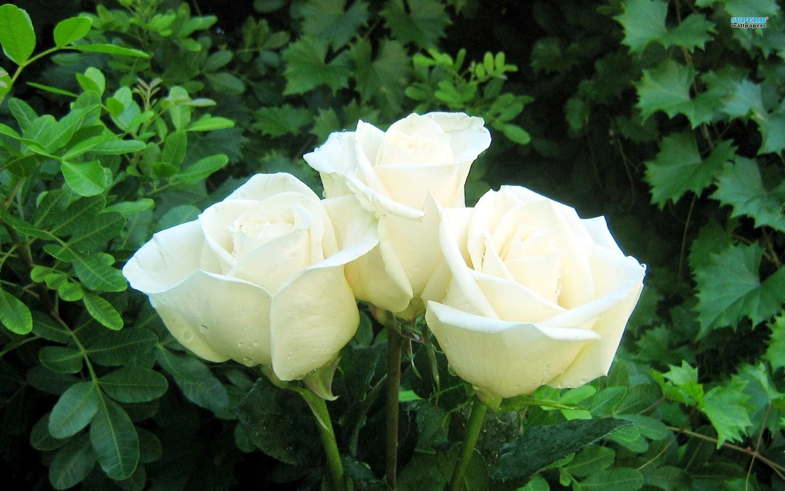Tặng hoa hồng trắng còn mang ý nghĩa về tình yêu vĩnh cửu, bất diệt