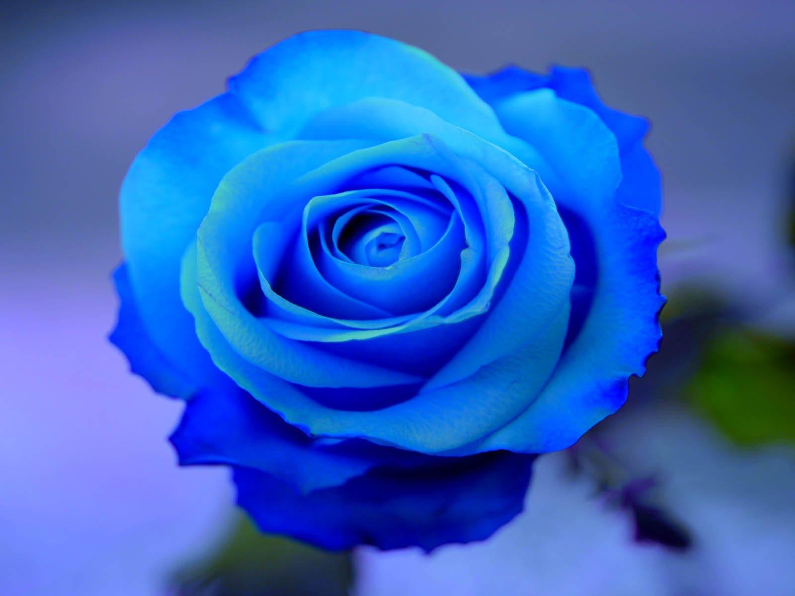 Hồng xanh chính là món quà sinh nhật tuyệt vời