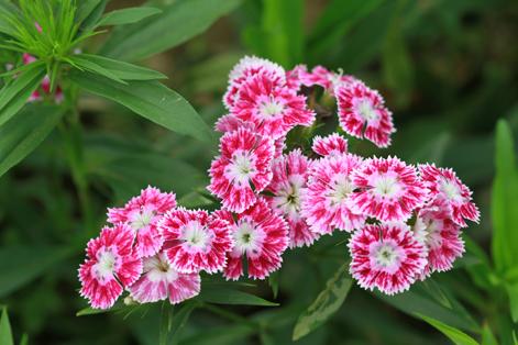 hoa păng-xê
