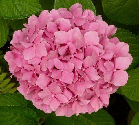 Hoa cẩm tú cầu thích hợp dành tặng thầy cô giáo trong ngày 20/11
