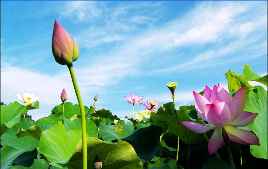 Hoa sen mang vẻ đẹp thuần khiết, tinh tế và sang trọng