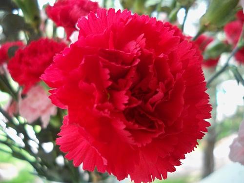 Hoa cẩm chướng màu đỏ