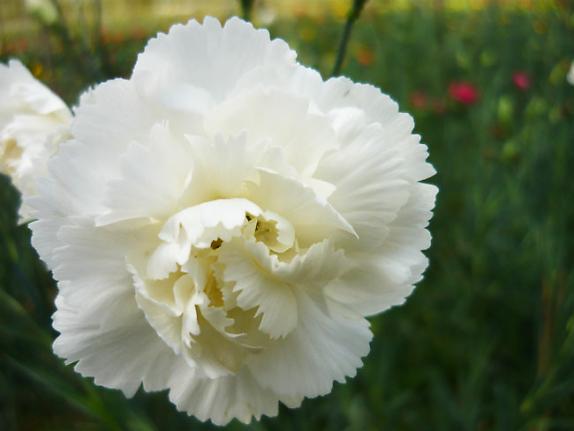 Hoa cẩm chướng màu trắng