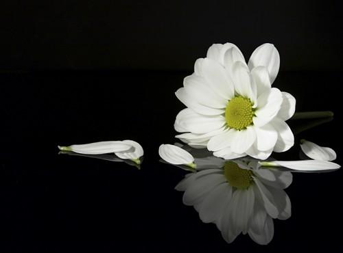 """Képtalálat a következőre: """"hoa cúc trắng đám tang"""""""