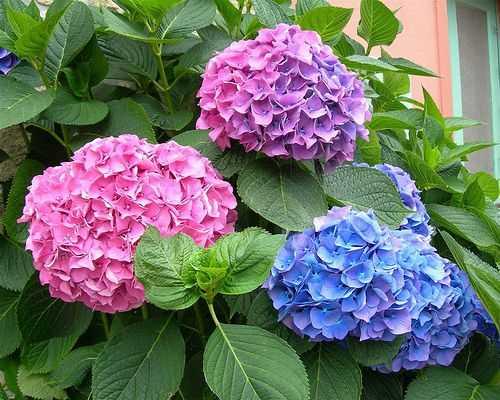 Hoa cẩm tú cầu cũng là một lựa chọn