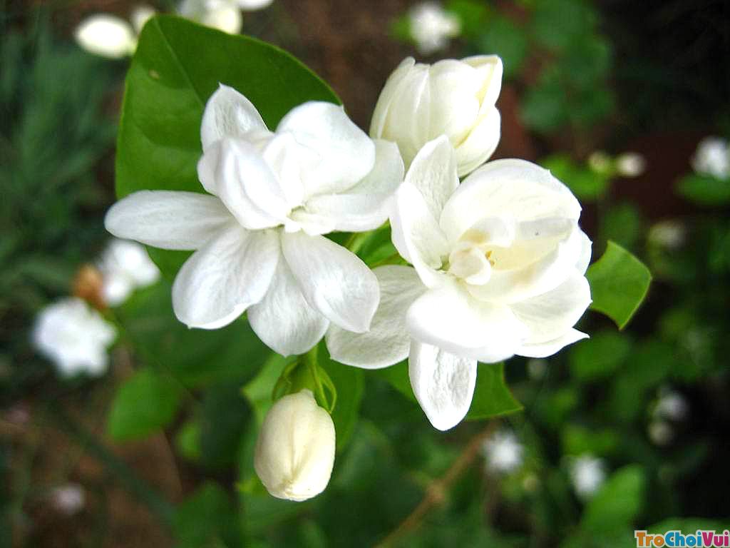 Kết quả hình ảnh cho hoa nhài